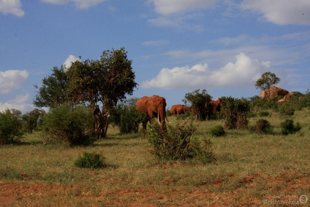 """""""czerwone"""" słonie"""