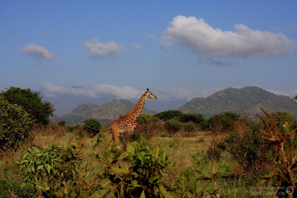 Za żyrafą na szczycie góry widać nadajniki.