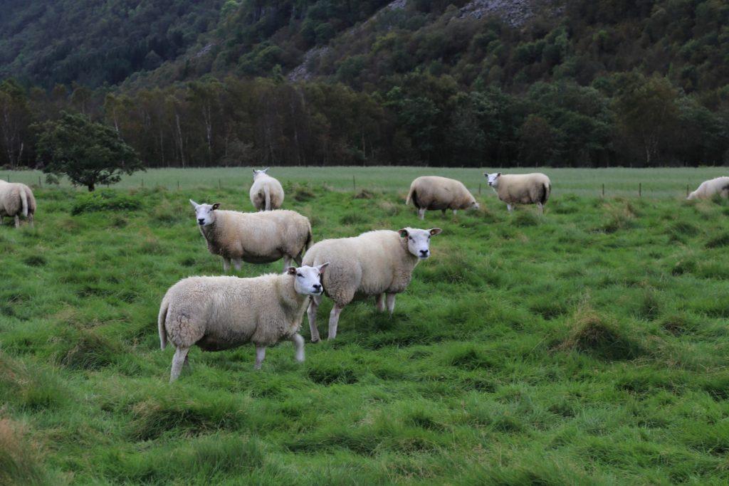 Norwegia - to i owce muszą być.